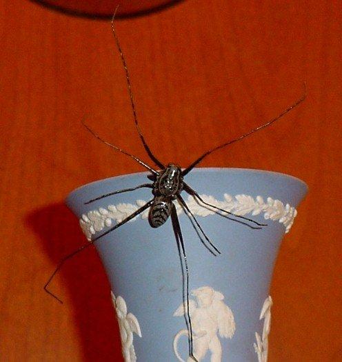 Longlegged Water Spider