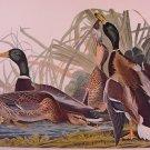 Audubon Print Mallard Duck