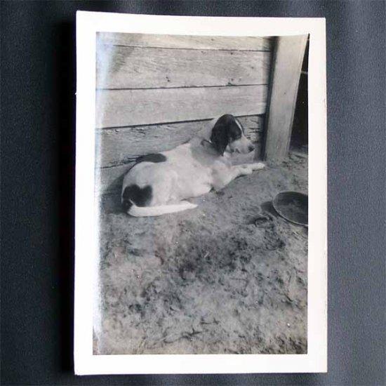 Vintage Black and White Photo Birddog Looking Bored c1940s (PH013)