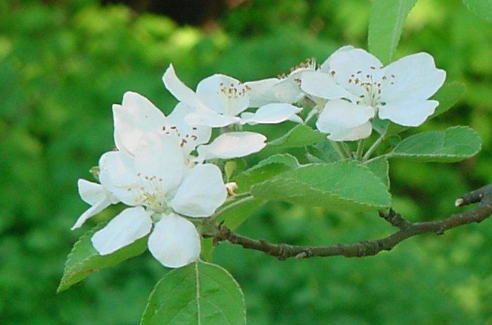 """Apple Blossums**8""""x10"""" Matted original Photo"""