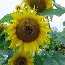 """Bee My Sunflower**8""""x10"""" Matted original Photo"""