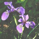 "Irises**8""x10"" Matted Original Photo"