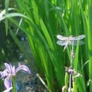 """Dragonfly Wings**8""""x10"""" **Original Matted Photo"""