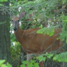 "Deer In Woods**8""x10"" Matted Original Photo"