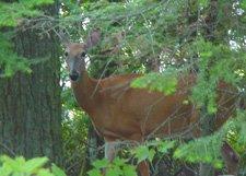 """Deer In Woods**8""""x10"""" Matted Original Photo"""