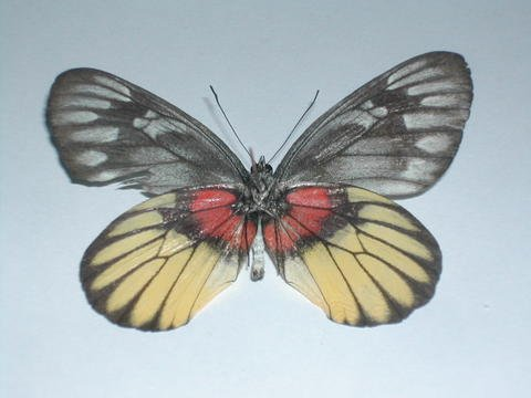 Lepidoptera Pictures