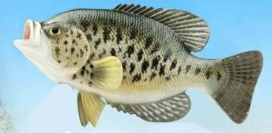 "12"" WHITE CRAPPIE FISH MOUNT/ TAXIDERMY"