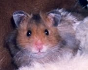 The Hamster Song