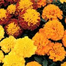 Want Great Marigolds This Spring? GREAT BLOOM 100 Seeds