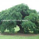 """Weeping Pagoda Tree 5"""" X 7"""""""
