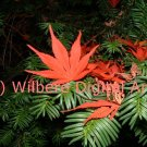 Digital Art JPG Photo Japanese Maple Leaf on Yew