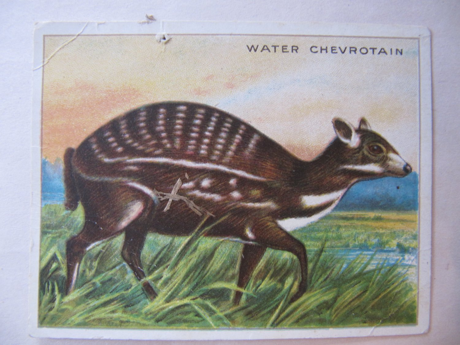 """Vintage Hassan Cork Tip Cigarettes Animals Card Water Chevrotain 3.25"""" by 2.5"""""""