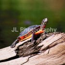 """Painted Turtle"" - 5x7 - Original Color Photo - signed"