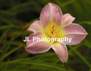 """Pink Lady"" - 5x7 - Original Floral Color Photo - signed"