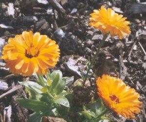 Calendula flowers petals 1 Pound