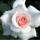 THE ROSE - photographic art - 8 x 10 photographic print
