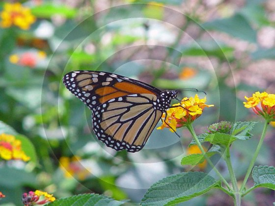 Monarch Butterfly - 12002 - 8x10 Framed Photo