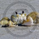 Ghost Crab- Ocypoda - 12020 - 11x17 Framed Photo
