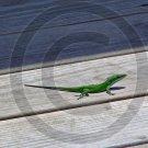 Anole – Anolis - 12021 - 8x10 Framed Photo