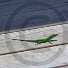 Anole – Anolis - 12021 - 11x17 Framed Photo