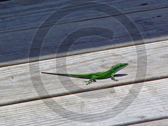 Anole � Anolis - 12021 - 11x17 Photo