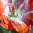 Amaryllis ( Hippeastrum ) - 9007 - 11x17 Photo