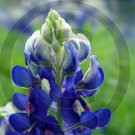 Texas Blue Bonnet ( Lupinus texensis ) - 9031 - 8x10 Framed Photo
