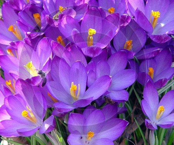 Crocus ( Iridaceae ) - 9032 - 11x17 Photo