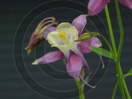 Perfect Symmetry - Columbine ( Aquilegia) - 9036 - 8x10 Framed Photo