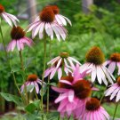 Purple Coneflower ( Echinacea purpurea ) - 9039 - 8x10 Photo