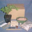 Juniper Procumbens Nana Bonsai Tree Kit