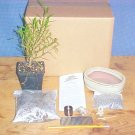Ficus Nerifolia Bonsai Tree Kit