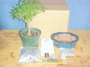 Large Ficus Nerifolia Bonsai Tree Kit