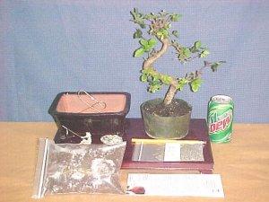 Large Elm Bonsai Tree Kit