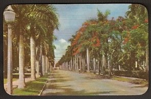 1940s POSTCARD LOVELY VIEW OF A FLORIDA BOULEVARD LINED WITH ROYAL PALMS & POINCIANA TREES