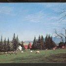 1960 COWS GRAZING IN FIELD BENNINGTON VERMONT 824