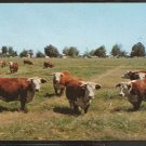 POSTCARD WHITE FACED HEREFORD COWS LAZILY GRAZING IN A SUNNY FIELD 937
