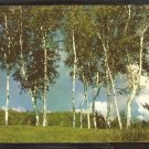 A Majestic Stand of Birch Trees in a Maine Meadow 967