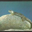 A Lizard sunning on a rock 970