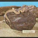 Mojave Desert Sidewinder Snake In Natural Habitat 978