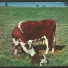 Mother Cow Nuzzling Her Baby Calf In A Grassy Field 989