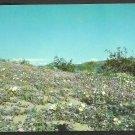 Scenic Desert view of Lavender Sand Verbena Evening Primrose Rare Desert Lilies 996