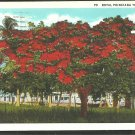 Splendid Royal Poinciana Tree Florida White Border Postcard 1084
