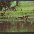 2 Bull Moose Feeding at Lakes Edge In Maine Chrome Postcard 1096