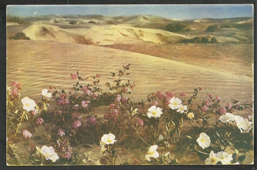 Verbenas In The Sand Dunes New Mexico 1955 Chrome Postcard 155