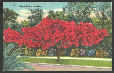 A Flaming Red Royal Poinciana Tree In Florida Linen Postcard 1131