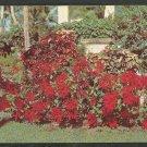 A Lovely Garden Display of Florida Poinsettia Chrome Postcard 1164