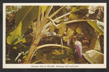 Banana Tree Showing Bud & Fruit Sarasota Jungle Gardens Florida Postcard 306