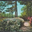 Azaleas In Bloom The Botanical Gardens Norfolk Virginia Pine Trees Walking Path Chrome Postcard 1219