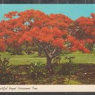 Florida Beautiful Flaming Red Royal Poinciana Tree Chrome Postcard 380
